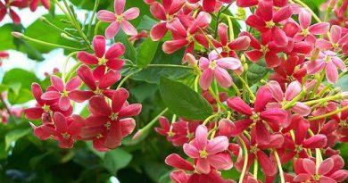 Madhumalti (Honeysuckle) Benefits In Marathi