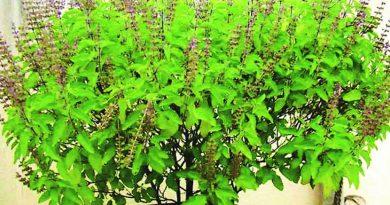 Tulasi (Basil) Benefits In Marathi